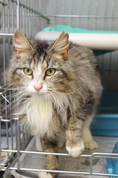URGENT Meet Astrid, a Petfinder adoptable Domestic Long Hair Cat | Hopkinsville, KY | Hi my name is Astrid and I am a 4 year old female long haired cat.  I was picked up by animal...