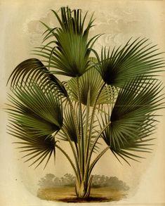 Thrinax Barbadensis, L'Illustration horticole.