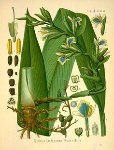 Köhler's Medizinal-Pflanzen in naturgetreuen Abbildungen mit kurz erläuterndem Texte , volume 2, 1883, Peter H Raven Library via BHL (cardamom)