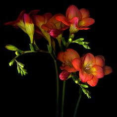 TABLEAU VIVANT… FREESIA by Magda Indigo - Photo 146138513 - 500px