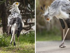 HEADER HERE When it comes to scouting the scene, long limbs give the secretary bird a leg up in spotting potential meals in the grasslands. Large, long-clawed feet help it snatch prey—and stomp it into submission.