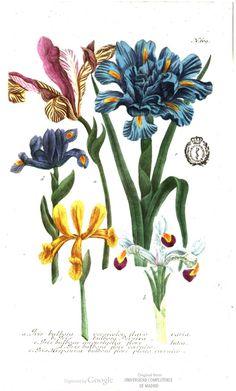 Varieties of the iris. Phytanthoza-Iconographia, by Johann Wilhelm Weinmann.
