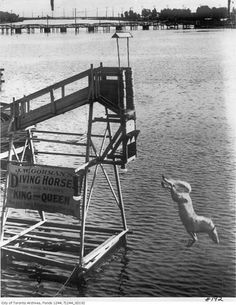 White Horse Diving into the Ocean off of Steel Pier in Atlantic City, New Jersey