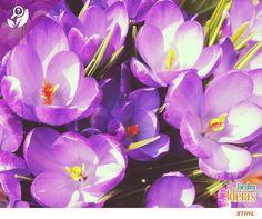 Hoje é a vez de falar do Açafrão! Essa planta produz anualmente uma ou mais flores de tons variados: violeta, rosa, vermelha ou branca. Em alguns lugares essa espécie é usada na culinária, perfumaria ou para fins medicinais. Seu nome significa grandeza e sabedoria.