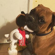 Boxer Dog || Cutie pie