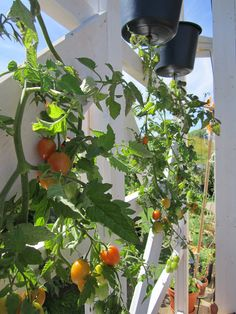 More of the same tomato aerial planters. Now don't these look gorgeous against a white trellis?