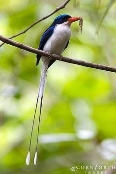 Paradise Kingfisher (Tanysiptera galatea), New Guinea and Australia