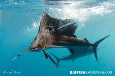 Diving with Sailfish at Isla Mujeres, Cancun, Mexico.