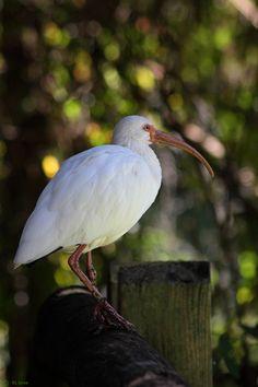 White Ibis, Louisiana wildlife