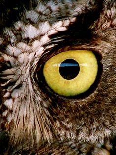 Golden Eye: Enhanced photo of eastern screech owl eye, originally photographed by pyratqwn, on Flickr