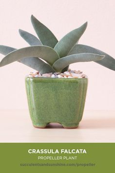 gray green succulent has leaves shaped like, you guessed it… a propeller! It always provides a nice contrast when planted with other succulents. It is easily propagated, and is one of the few succulents that grow well indoors.