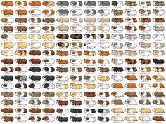 Guinea pig breeding chart google search breeding pinterest guinea pig breeding chart google search breeding pinterest small animals corgis and animal sciox Gallery
