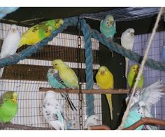 Undulat, Australsk, har fantastik flotte fugle ,alle fra i