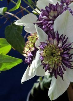 The astonoshing #flower of #Clematis #florida #sieboldii from Southern #China