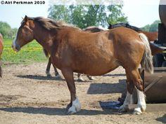 Estonian Draught - mare Varkanta