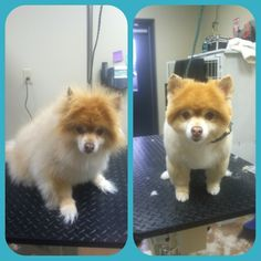 Pomeranian before and after grooming