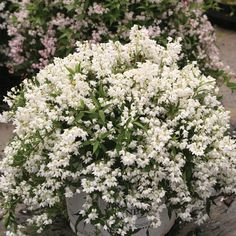 Yuki Snowflake™ - Deutzia xHardy Zones 5 - 8 Exposure Part Sun to Sun Season Spring Summer Mature Size 12 - 24 Inches