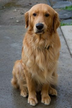 20 Things All Golden Retriever Owners Must Never Forget. The Last One Brought Me To Tears… Here are important life lessons that are sometimes easy to forget in our hectic lives, that all Golden Retriever owners must never forget. Retriever Puppy, Dogs Golden Retriever, Funny Golden Retrievers, Golden Retriever Training, Chien Golden Retriver, Why Dogs Lick, Cute Dogs And Puppies, Doggies, Chihuahua Dogs