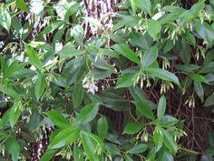 Jazmín de Madagascar. http://www.elhogarnatural.com/fichas%20A/AZ%20fichas/FichasdesdeAbeliaaAztekium.htm