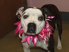 Maggie - URGENT - Richland County Dog Warden in Mansfield, Ohio - ADOPT OR FOSTER - Adult Female Am. Bulldog/Pit Bull Terrier Mix - at the shelter since April 28, 2017 - You can see the sadness and feel it all around me. I am very shy with new people but I will warm up if you take it slow. Then I will show my appreciation of kindness with gentle kisses. I very much need a wonderful home where I can be loved and pampered as a member of the family.