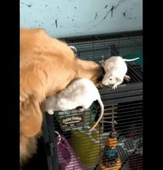 Dog and his pet rats (x-post from/r/rats) http://ift.tt/2r2oqvL