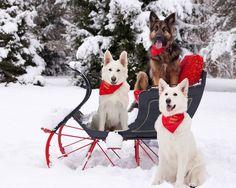 Handsome white German shepherds