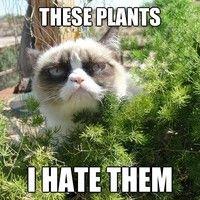 Grumpy cat goes outdoors. hahaha