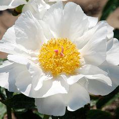 ~Klehm's Song Sparrow Farm and Nursery--Peonies/Paeonia--'Blanco Royale'