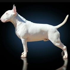 """4,906 Likes, 19 Comments - Bull Terriers (@proudbullterriers) on Instagram: """" Double tap in 1 sec Tag your friends Reposted from @lupolisbullkingdom #bullterrier…"""""""
