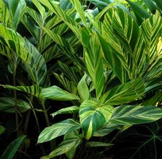 A collection of tropical foliage plants other than bananas and canna to give your garden the tropical look. Tropical Garden Design, Tropical Backyard, Tropical Style, Tropical Leaves, Tropical Plants, Tropical Gardens, Trees To Plant, Plant Leaves, Ginger Plant