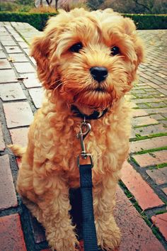 Penny the Labradoodle. Looks like a stuffed animal. <3  my dream dog!!