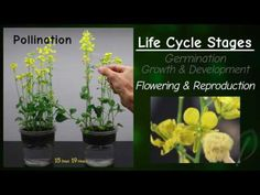 Wisconsin Fast Plants® Life Cycle - Great time lapse videos of germination, growth, development, and reproduction.