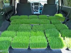 Miss Kopy Kat: More Grass Centerpieces GROWING GRASS for centerpieces, baseball party centerpiece, Easter tablescape. Great idea!