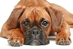 Boxer dog watching you watching him