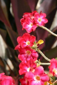 Adenium obesum Red - Flowers & Gardens
