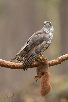 GOTCHA!!! - What a moment...... a wild goshawk on a red squirrel!! Photography by Edwin Kats