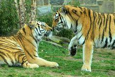 Tiger Kiss - Animal Photograph - Nature Photography - Wild - Safari - Stripes - Love - Africa - Art Print - 6X9 (Other Sizes) via Etsy