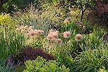 Plant tapestry of ornamental onions (Allium), grasses, perennials, and shrubs in waterwise drought tolerant mixed border demonstration garden at Bellevue Botanic Garden, near Seattle Washington