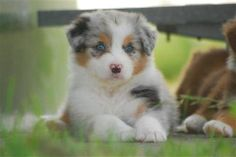 Everything I adore about the Smart Australian Shepherd Pup Australian Shepherd Züchter, Aussie Shepherd, Animals And Pets, Baby Animals, Cute Animals, Cute Puppies, Cute Dogs, Puppy Images, Aussie Dogs