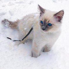 Chapichapochatpapo encore un nouveau chat blanc ! Son Chat, Cats, Cat Love, Midget Cat, Best Relationship, White Cats, Gatos, Cat, Kitty