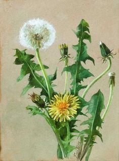Dandelion Painting, Dandelion Clock, Dandelion Flower, Botanical Drawings, Botanical Prints, Watercolor Flowers, Watercolor Paintings, Rock Flowers, Pictures To Paint