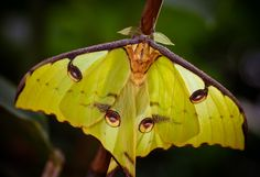 The Madagascan Moon Moth, also known as the Comet Moth, is native to Africa.