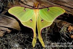 Luna Moth Larva/Pupa/Cocoon for sale - Available in Louisiana
