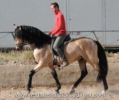 Candelario from AndalusianHorseDirect.Com