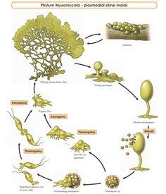 Grow Slime Mold