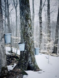 Tapping Maple trees for their sap. It is collected, boiled down to make Maple Syrup.