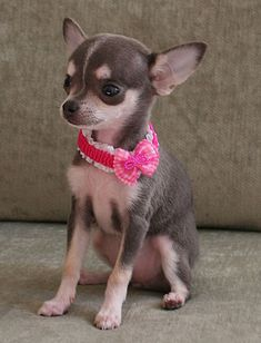 Effective Potty Training Chihuahua Consistency Is Key Ideas. Brilliant Potty Training Chihuahua Consistency Is Key Ideas. Teacup Chihuahua, Chihuahua Love, Chihuahua Puppies, Cute Puppies, Cute Dogs, Dogs And Puppies, Doggies, Amor Animal, Little Dogs