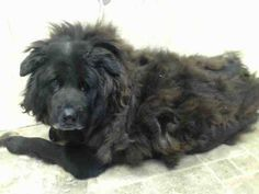 SUPER URGENT 10/28/14 Brooklyn Center  KINGSTON - A1018859  ***DIFFICULTY WALKING***  NEUTERED MALE, BLACK / BROWN, NEWFOUNDLAND MIX, 8 yrs STRAY - STRAY WAIT, NO HOLD Reason STRAY  Intake condition GERIATRIC Intake Date 10/27/2014, From NY 11208, DueOut Date 10/30/2014, KILLED.
