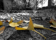 Some leaves on path that have fallen off a nearby tree. Taken in Santa Rosa, California. Want this picture printed on canvas or cards etc? Click on the image :) San Francisco City, Framed Prints, Canvas Prints, Yellow Leaves, White Art, Print Pictures, Taking Pictures, Black And White Photography, Nature Photography
