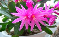 Blooming Cactus Plants | Indoor Flowering Plant for Hanging Baskets: Easter Cactus